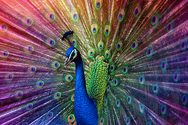 Peacock Print by Hannes Cmarits
