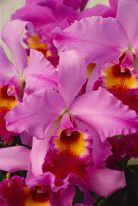 Pink Cattleya Orchids Print by Allan Seiden - Printscapes