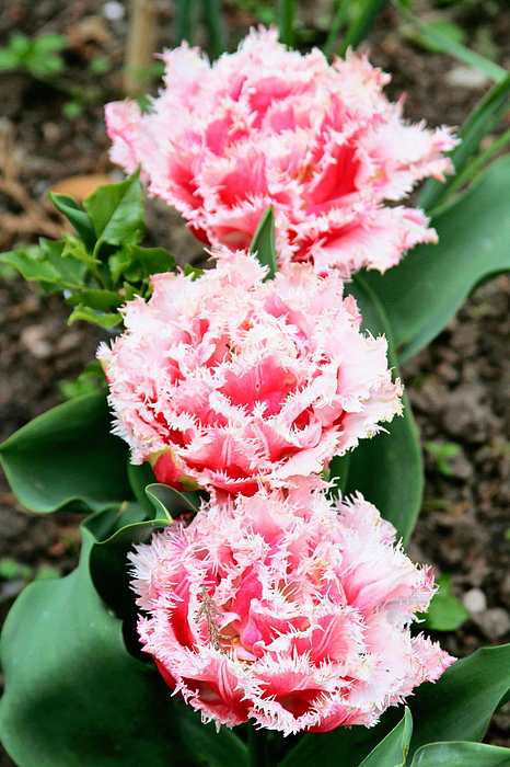 Kevin F Cook - Queensland Parrot Tulips
