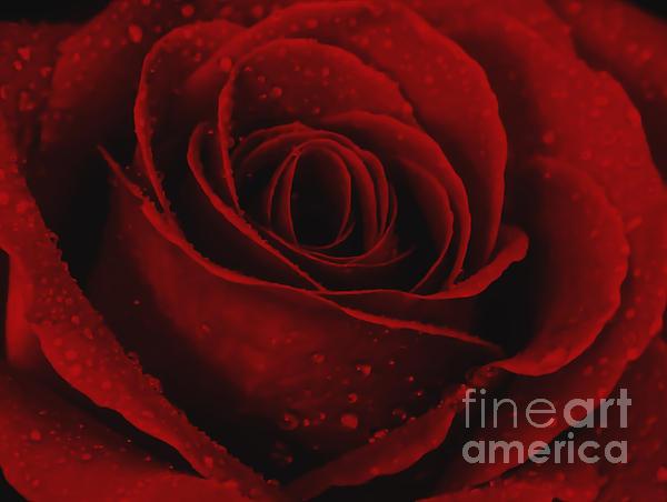 Kathy Hulbert - Red Rose