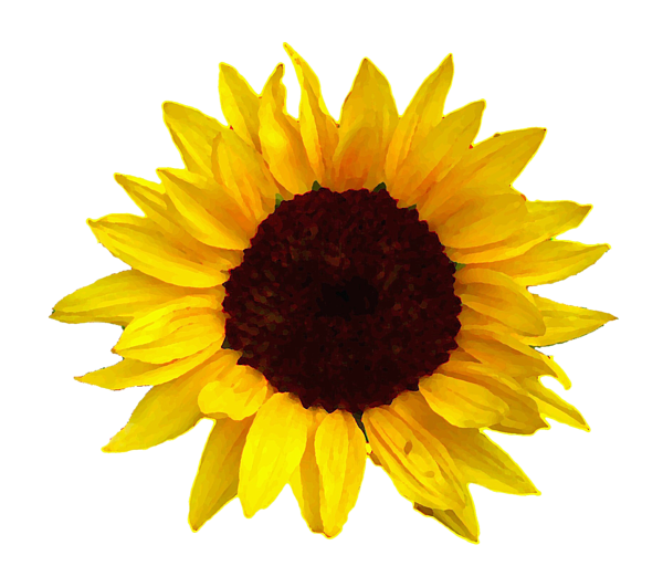 Sunflower Png Images Transparent Background: Sunflower Adult V-Neck For Sale By Jim Sauchyn