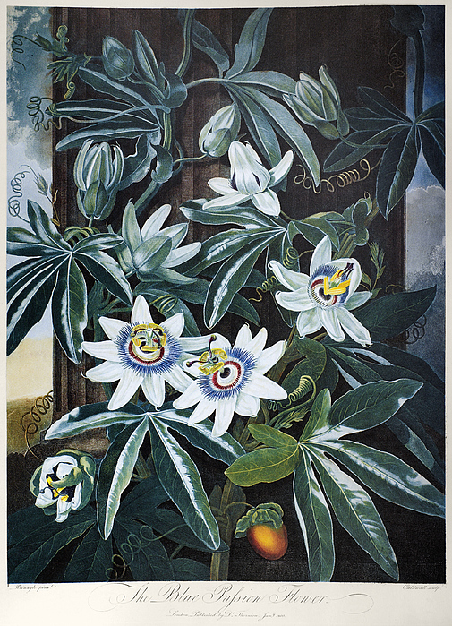 Thornton: Passion-flower Print by Granger