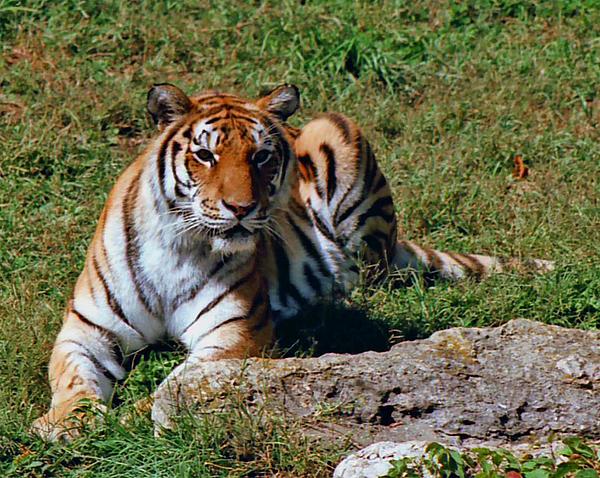 Tiger II Print by Gary Adkins