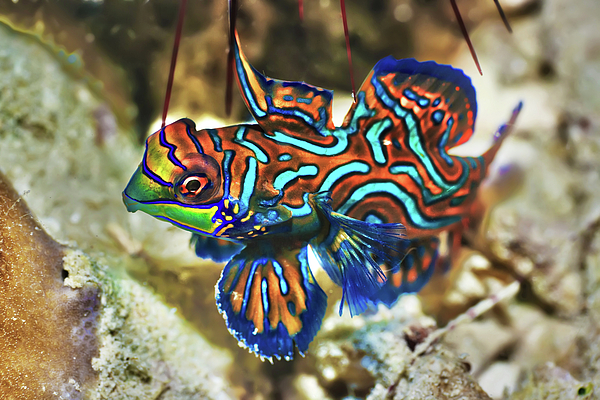 Tropical Fish Mandarinfish Print by MotHaiBaPhoto Prints