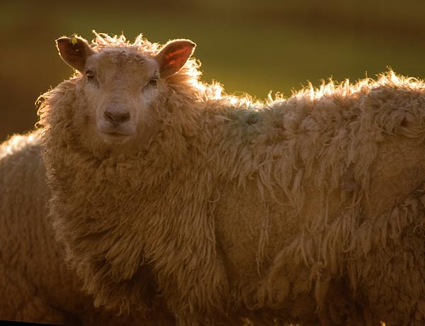 Welsh Lamb In Sunny Sauce Print by Angel  Tarantella