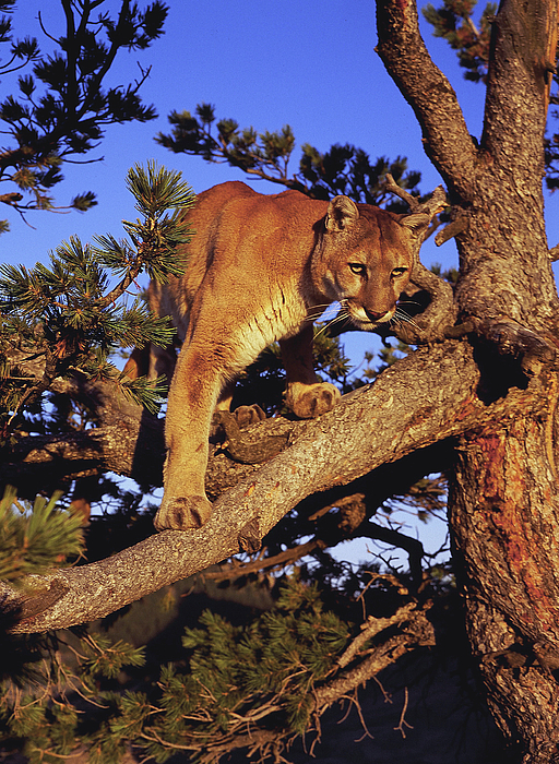 Mountain Lion Print by Dennis Hammer