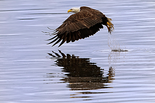 Bald Eagle Flying Print by Ed Book