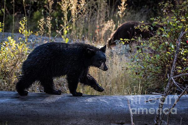 Webb Canepa - Black Bear Cub