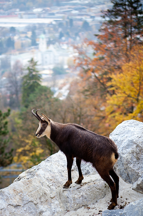 Goat In The Austrian Alps Print by Andre Goncalves