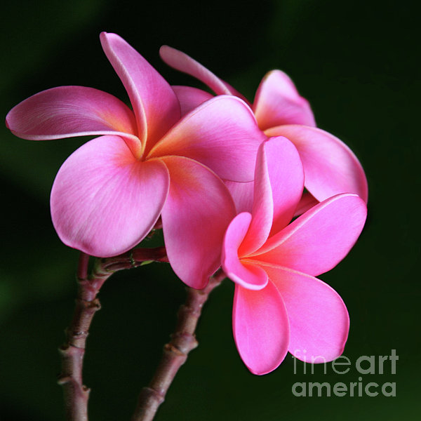 Sharon Mau - Na Lei Pua Melia Aloha He ala nei e puia mai nei Pink Plumeria