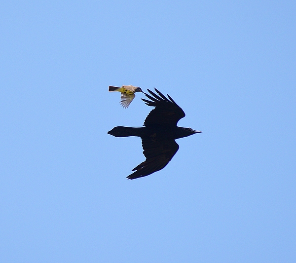 Linda Brody - 2 Raven Attack by Male Goldfinch