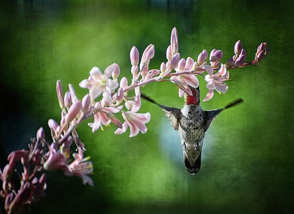 Hummingbird Print by Saija  Lehtonen