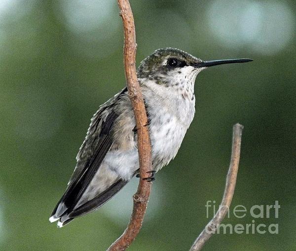 Cindy Treger - Ruby-throated Hummingbird