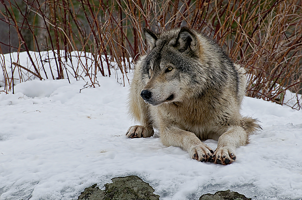 Timber Wolf Print by Michael Cummings