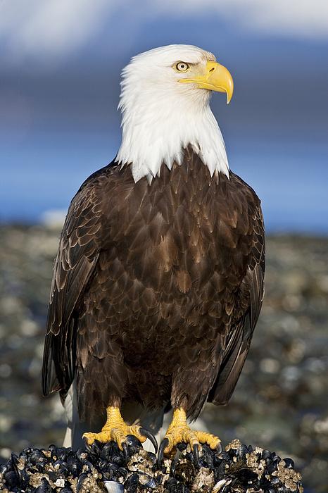 A Bald Eagle Print by John Hyde - Printscapes
