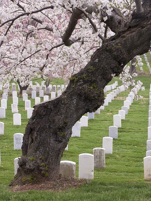 A Cherry Tree In Arlington National Cemetery Print by Tim Grams
