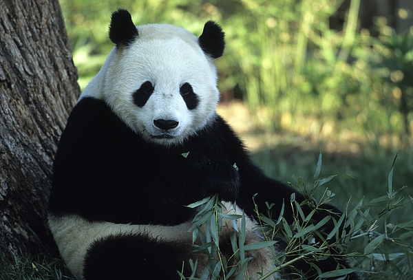 A Giant Panda Eating Bamboo Print by Taylor S. Kennedy