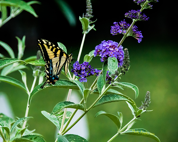 Mick Anderson - A Gorgeous Western Tiger Swallowtail Butterfly