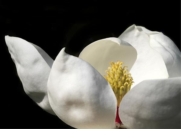 A Peek Inside A Magnolia Print by Sabrina L Ryan