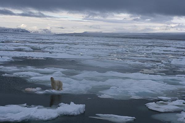 A Polar Bear On A Disintergrating Ice Print by Paul Nicklen