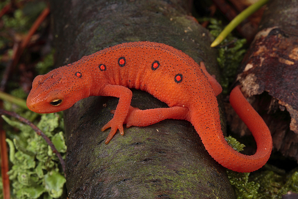 A Red Eft Crawls On The Forest Floor Print by George Grall