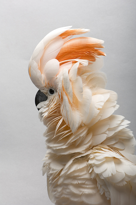 A Salmon-crested Cockatoo Print by Joel Sartore