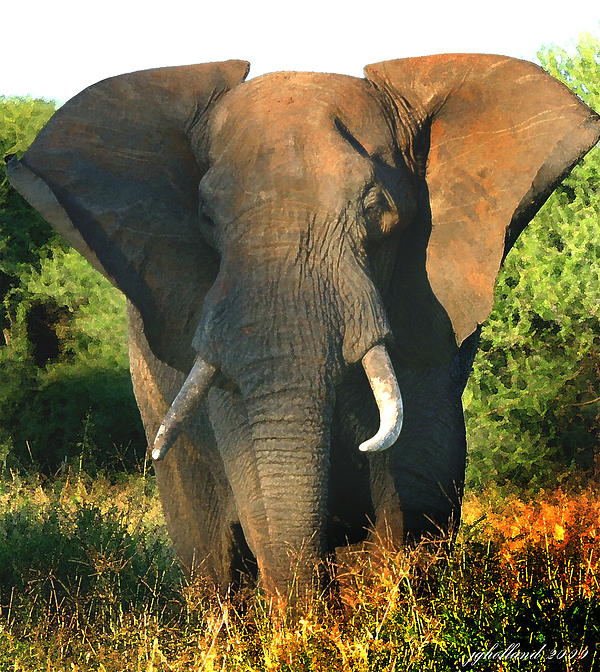 Joseph G Holland - African Bull Elephant