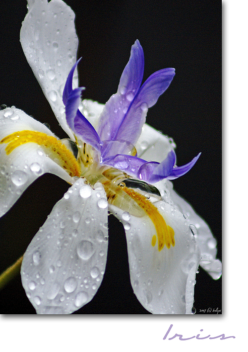 African Iris Print by Holly Kempe