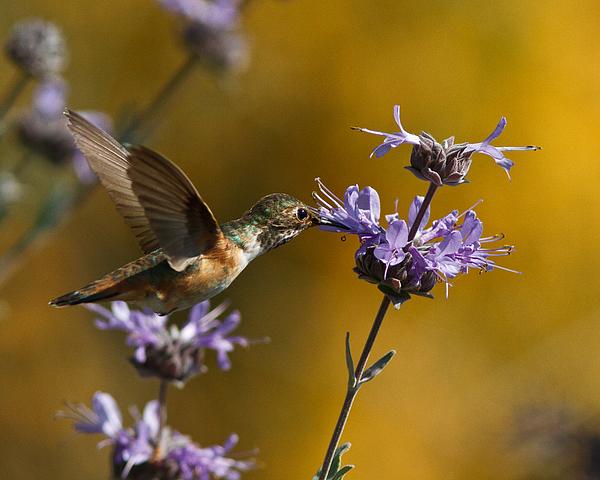 Carl Jackson - Allens Hummingbird