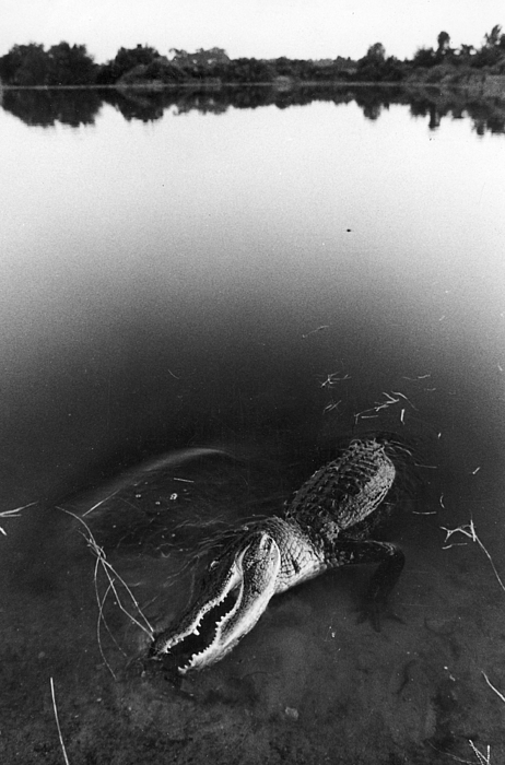 Alligator1 Print by Jim Wright