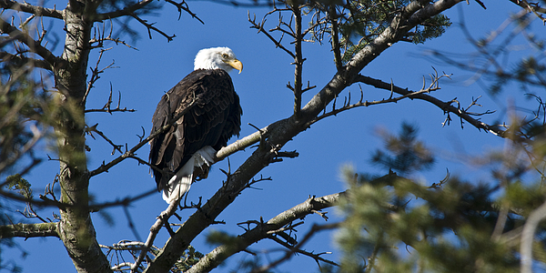 American Bald Eagle Print by Chad Davis