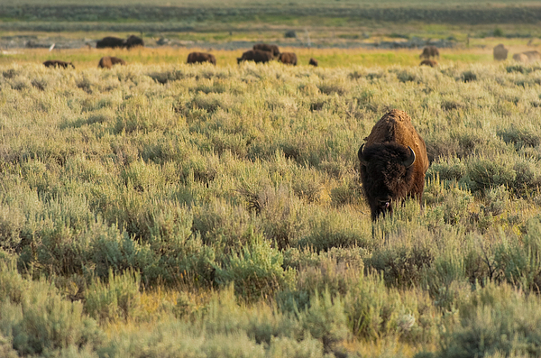 American Bison Print by Sebastian Musial