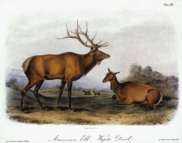 American Elk, 1846 Print by Granger