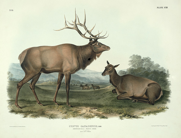 American Elk Print by John James Audubon