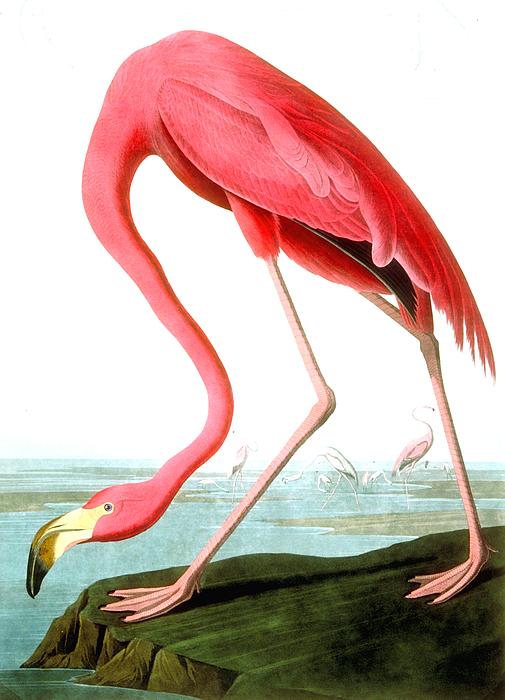 American Flamingo Print by John James Audubon