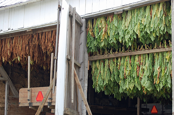 Amish Tobacco Harvest Print by Joyce Huhra