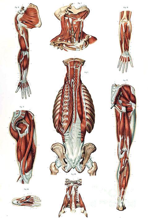 Anatomie du corps humain laskowski by science source for Interieur du corps humain photo