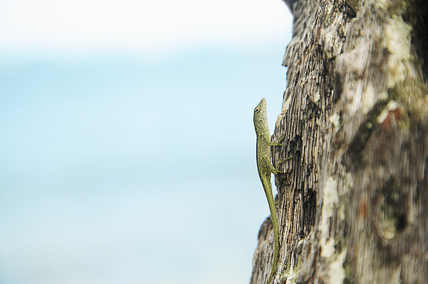 Anole Lizard Print by Brandon Tabiolo - Printscapes
