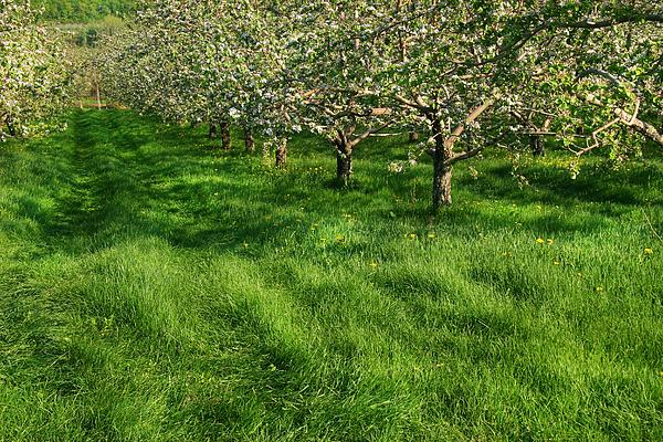 Apple Orchard Print by Sandra Cunningham