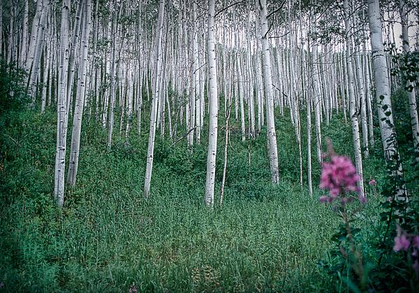 Aspen Grove Print by Rod Kaye