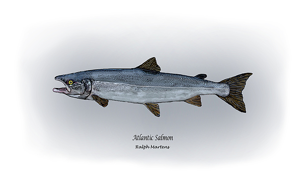Atlantic Salmon Print by Ralph Martens