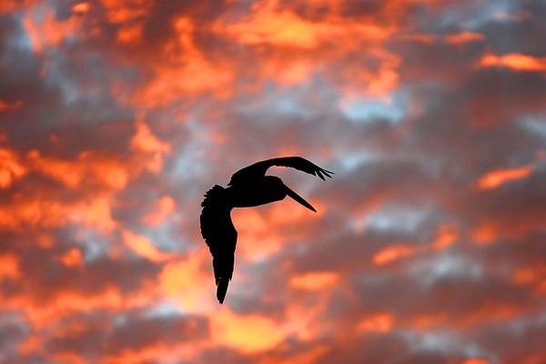 Tony Brown - Australian Pelican Silhouette