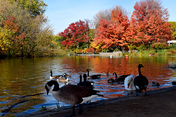 Autumn Lake With Geese By Diane Lent