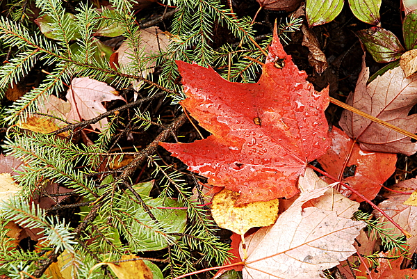 Autumn Leaves Print by Larry Ricker