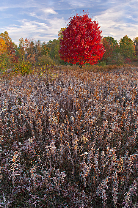 Autumn Maple In Frosted Meadow Print by Dean Pennala