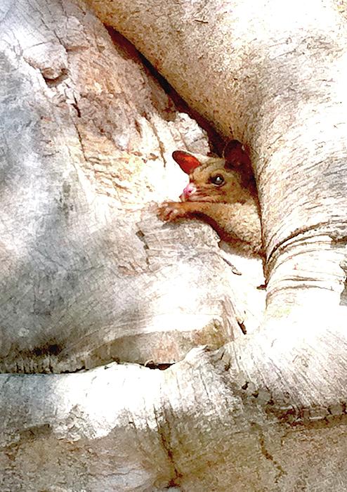 Baby Brushtail Possum 2 Print by Darren Stein