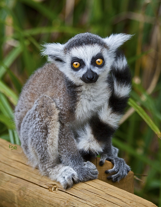 Ring tailed lemur baby sale - photo#21