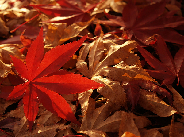 Back-lit Japanese Maple Leaf On Dried Leaves Print by Anna Lisa Yoder
