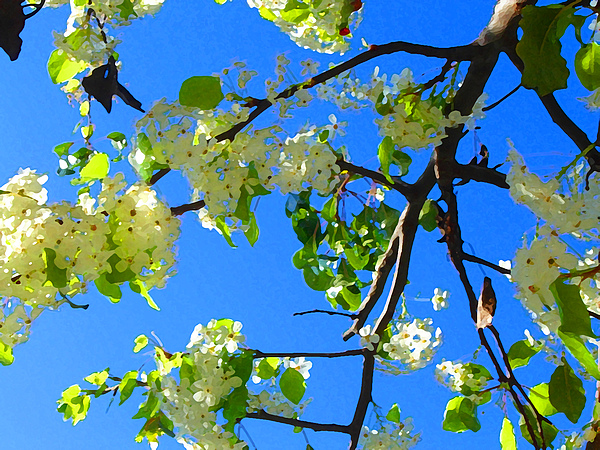 Backlit White Tree Blossoms Print by Amy Vangsgard