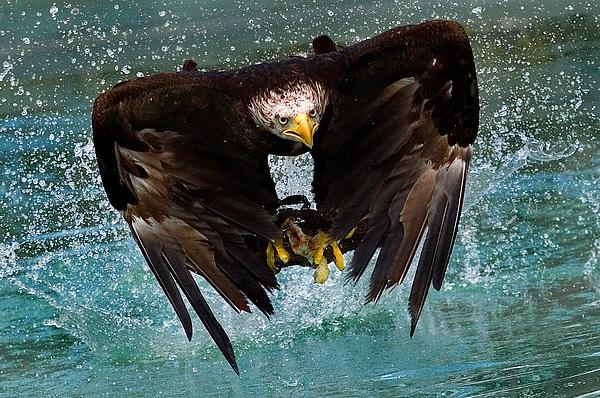 Bald Eagle In Flight Print by Dean Bertoncelj